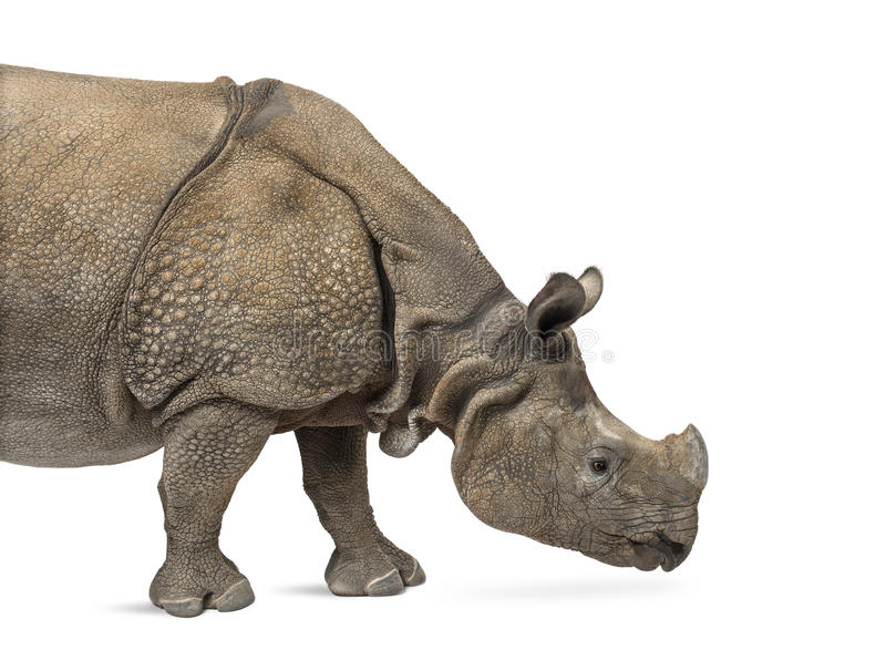 Rhinocéros un-à cornes indien image stock