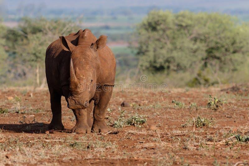 Rhinoc?ros blanc en Afrique du Sud photo libre de droits