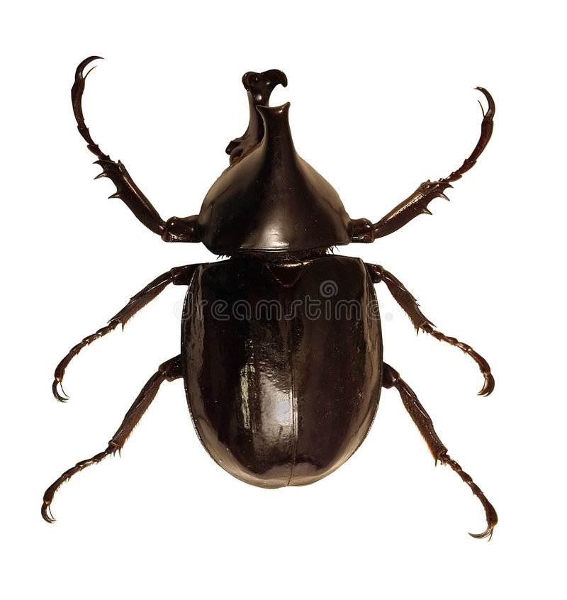 rhinoceros жука стоковое изображение rf