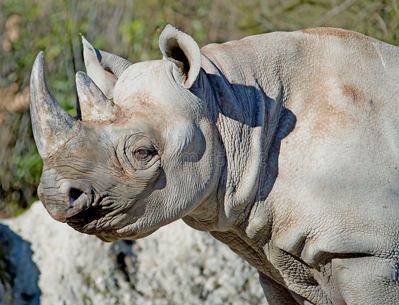 Rhinoceros 11 stock photography