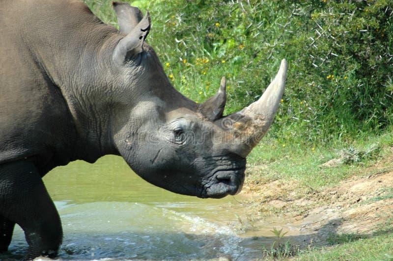 Download Rhinoceros stock image. Image of grass, elegant, grey - 1170429