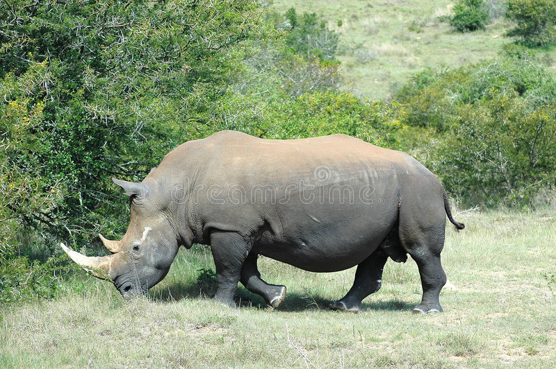 Rhinoceros. White Rhinoceros - Witrenoster - Rhino (Ceratotherium simum) walking to a water hole in a game park in South Africa royalty free stock images