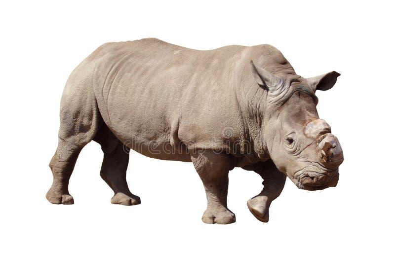 Download Rhinoceros stock photo. Image of huge, body, africa, sharp - 1188808