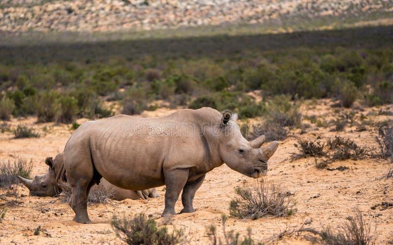 rhinoceros lizenzfreie stockfotos