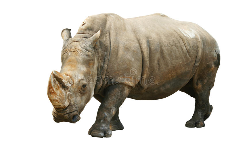 Rhinoceros. Isolated on white, with clipping path royalty free stock photography