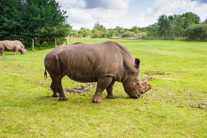 rhinoceros stockfotos