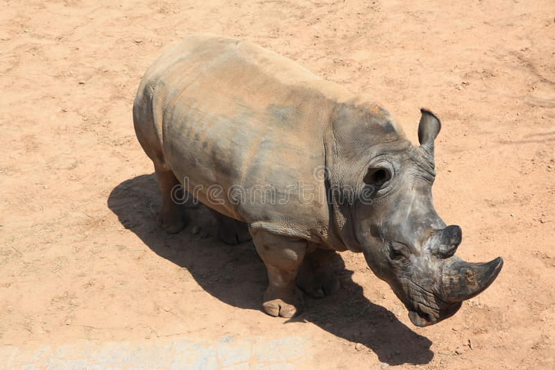 Rhinoceros. Grey Rhinoceros in a zoo stock photos