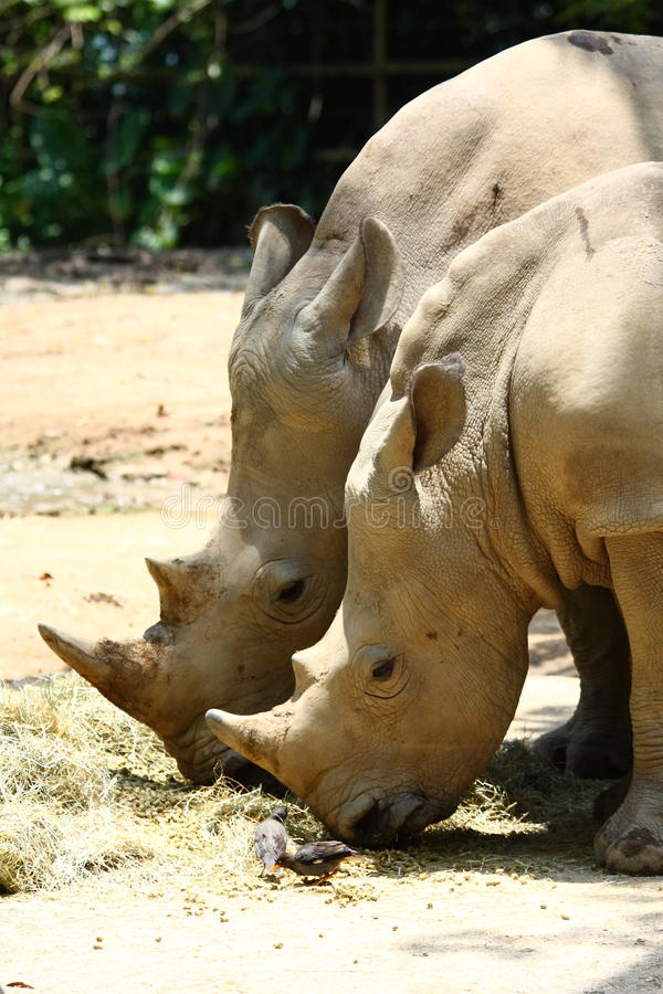 Rhinoceros. Often colloquially abbreviated rhino, is a group of five extant species of odd-toed ungulates in the family rhinocerotidae. Two of these species royalty free stock photography
