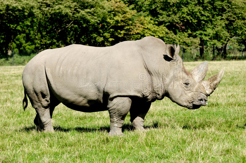 Download Rhinoceros stock photo. Image of natural, rhino, grass - 16147858