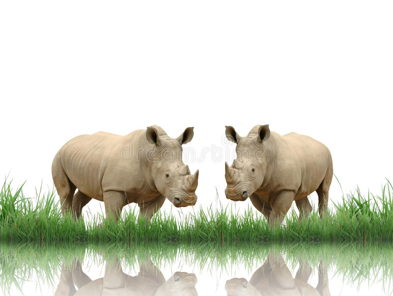 Rhinoceros. With green grass isolated stock photos