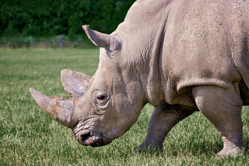 Download Rhinoceros Stock Photo - Image: 16803790