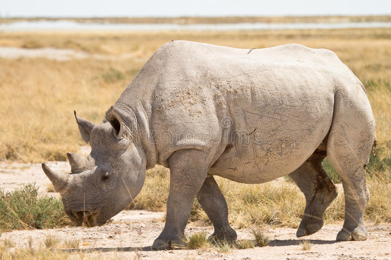 Download Rhinoceros stock image. Image of body, natural, south - 18390199