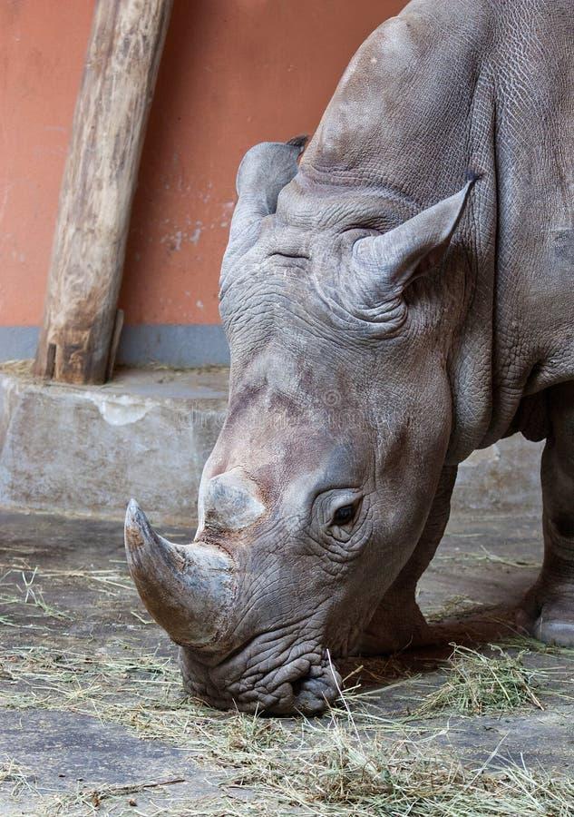 Download Rhinoceros stock photo. Image of face, mammal, wild, head - 22249338