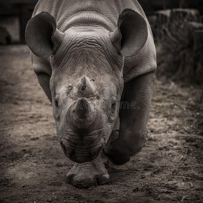 Rhinoceros stock photography