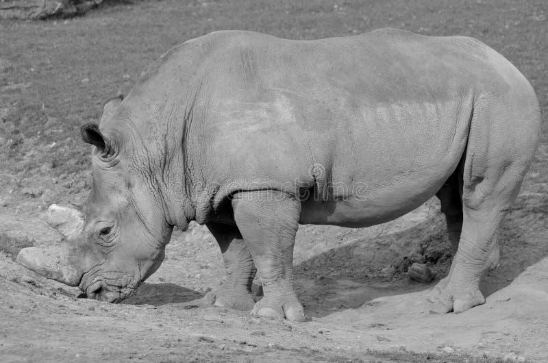 rhinoceros fotografia stock libera da diritti