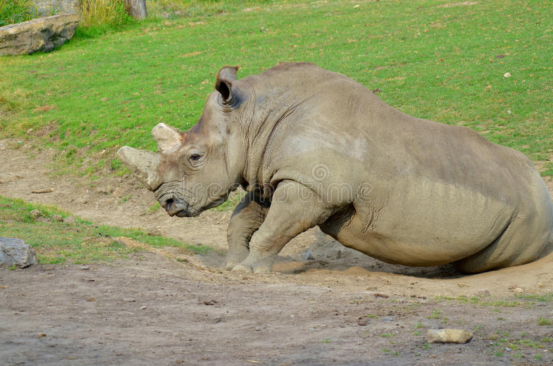 rhinoceros immagini stock
