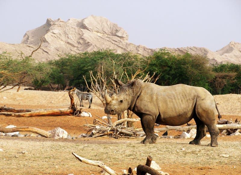 rhinoceros lizenzfreies stockbild