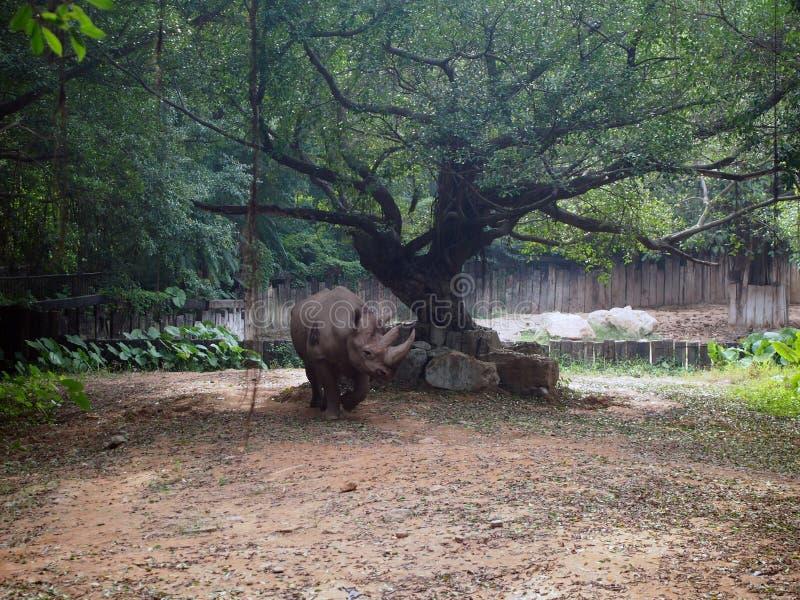 rhinoceros fotos de stock royalty free