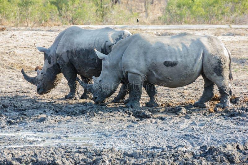 rhinoceros lizenzfreies stockfoto