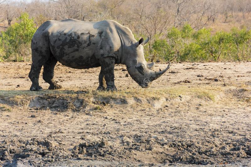 rhinoceros stockbilder