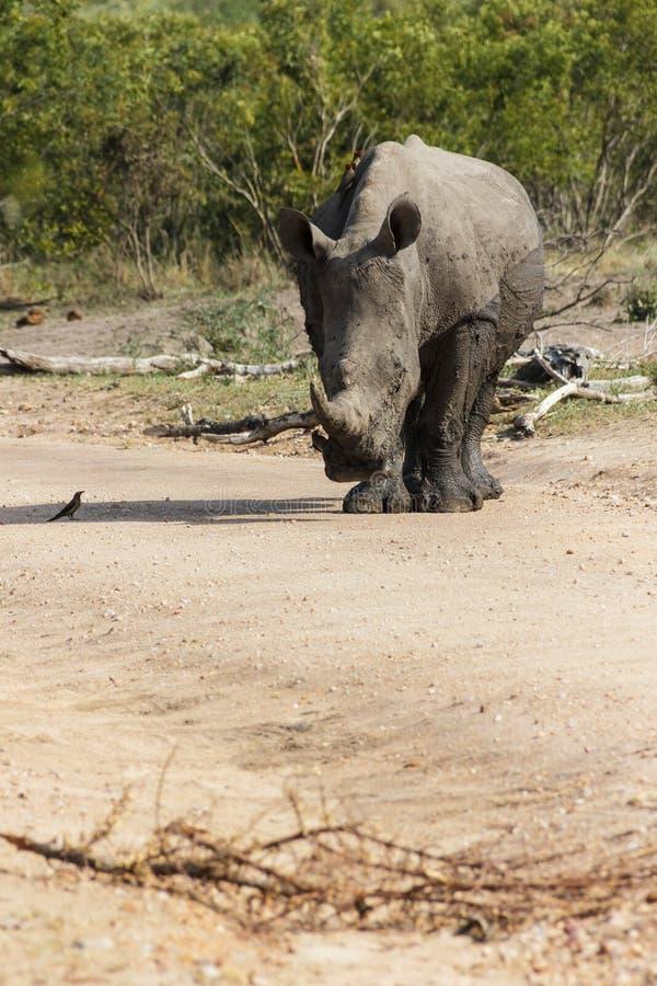 Rhinoceros auf einer schmutzigen Straße lizenzfreies stockbild