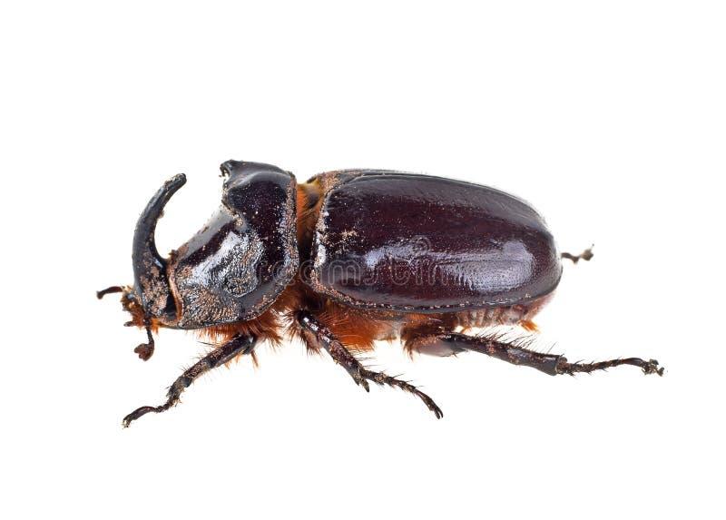 Rhinoceros Beetle, image on a white background stock image