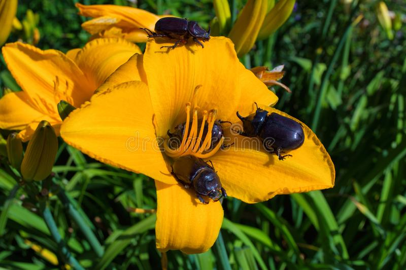 Rhinoceros Beetles. The beetles sits on a orange daylily flower. royalty free stock images