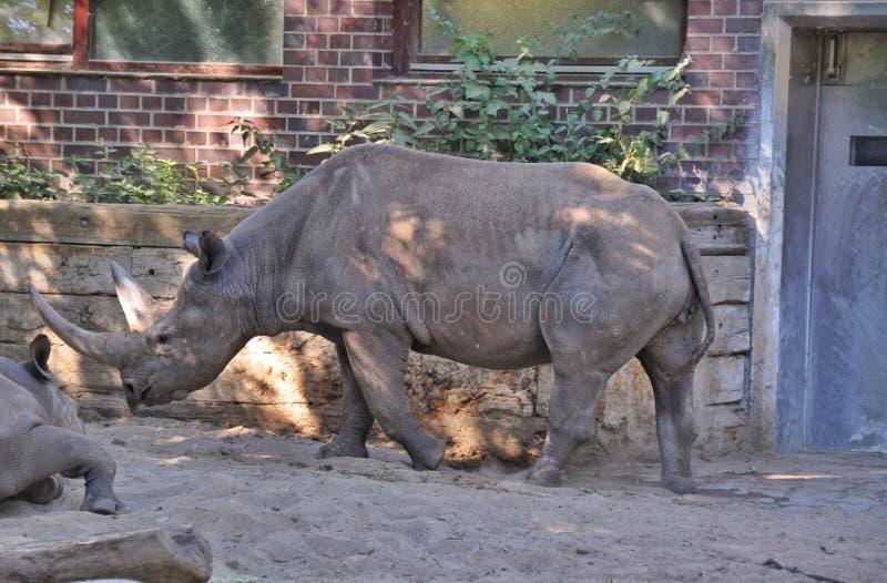 Rhinoceros. A black (hooked-lipped) rhinoceros (Diceros bicornis royalty free stock images