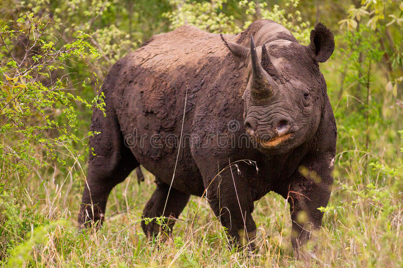 Rhinoceros in the Bush in South Africa. Rhinoceros at the Jackalberry Safari Lodge in the Thornybush Private Game Reserve, Limpopo Province, South Africa royalty free stock photo