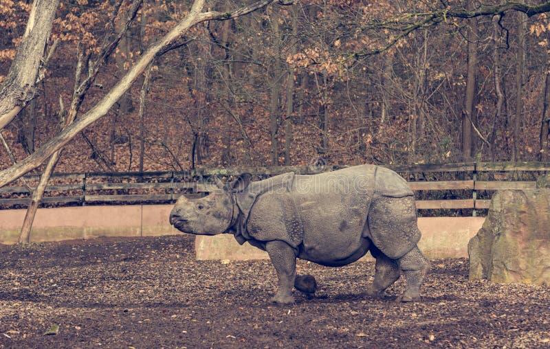 Rhinoceros calf walking around man made habitat in zoo. stock images