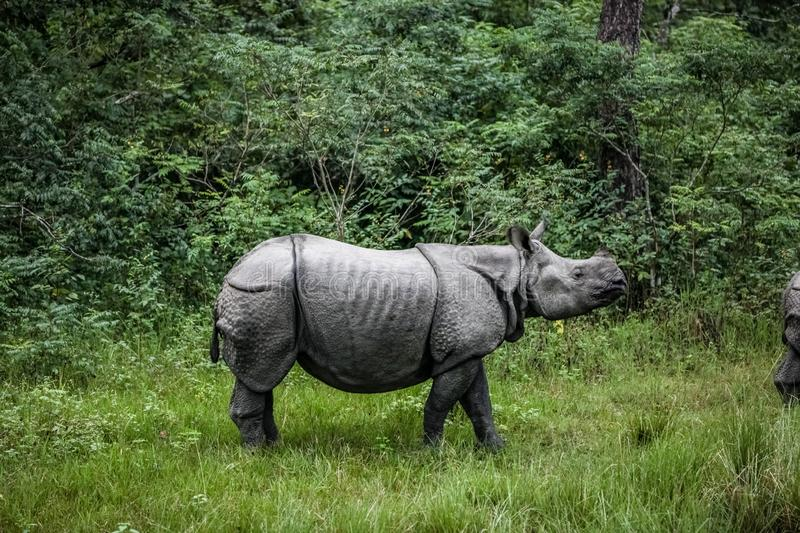 Rhinoceros crossing a small clearing with tall green grass. Rhinoceros walks across a small clearing with tall green grass stock images