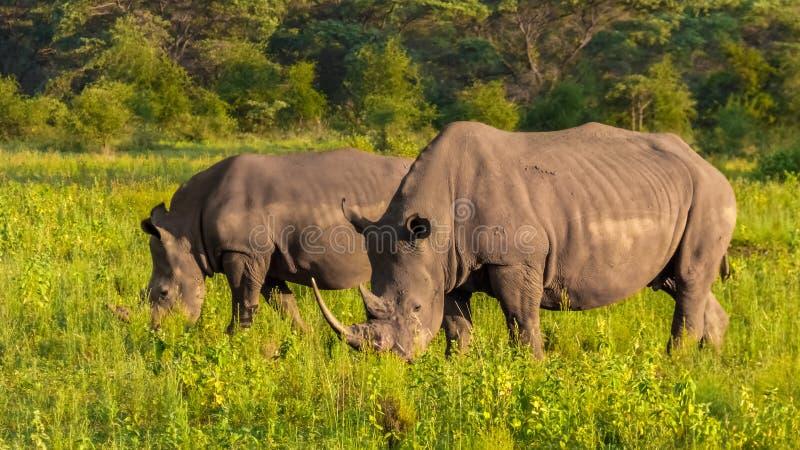 Rhinoceros eat grass on the savannah. White Rhino.  royalty free stock photos