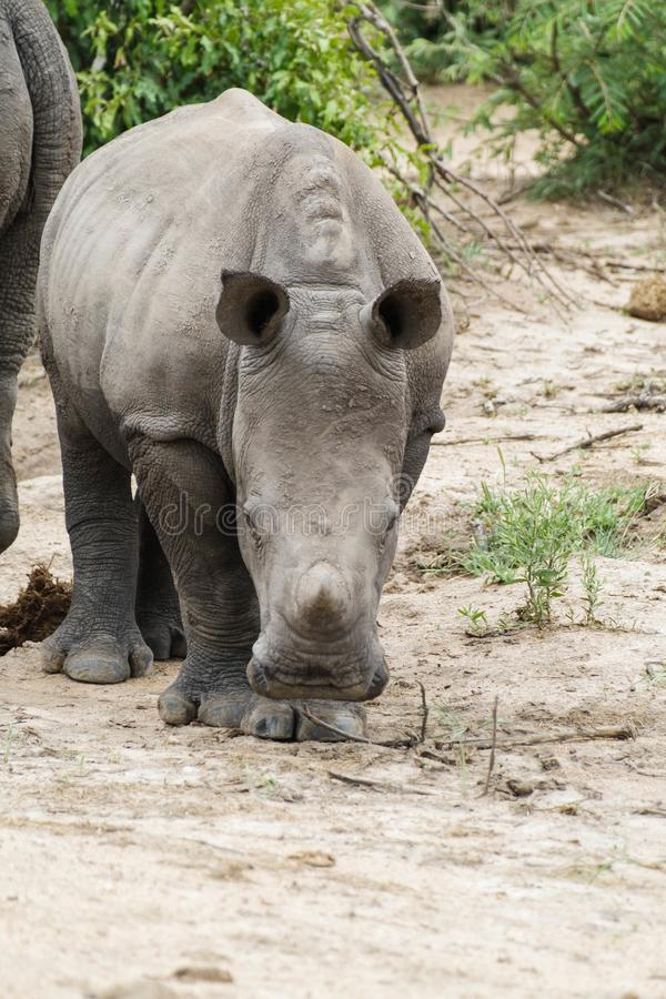 Rhinoceros. Encountered this Rhinoceros while visiting the famous Kruger National Park in South Africa stock image