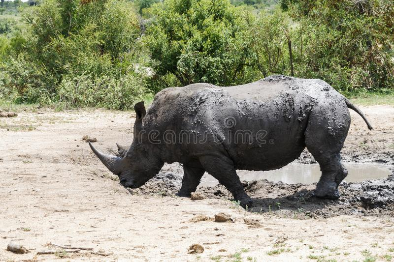 Rhinoceros. Encountered this Rhinoceros while visiting the famous Kruger National Park in South Africa royalty free stock photo