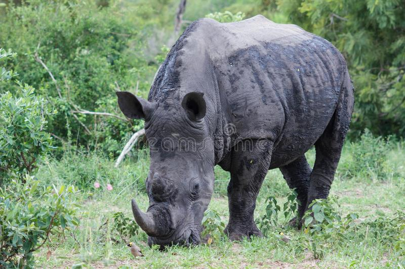 Rhinoceros. Encountered this Rhinoceros while visiting the famous Kruger National Park in South Africa stock photography