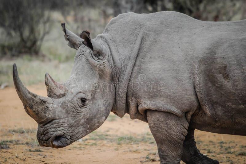 Rhinoceros in field stock photos