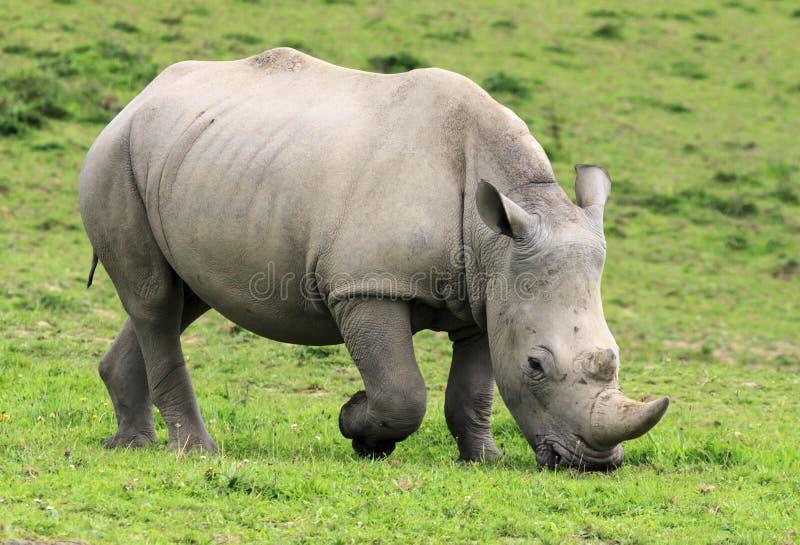 Rhinoceros grazes happily stock images
