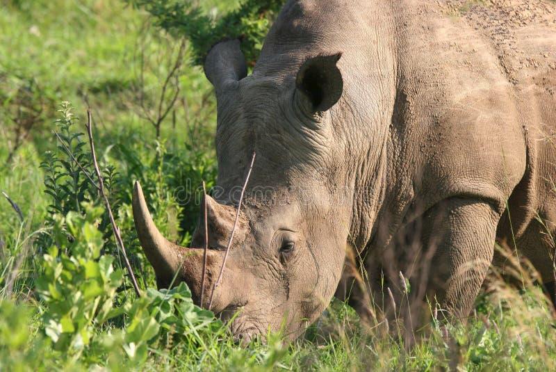 Rhinoceros grazing. Portrait of a white (square-lipped) rhinoceros (Ceratotherium simum). Hluhluwe-Umfolozi National Park. Zululand. South Africa royalty free stock photo