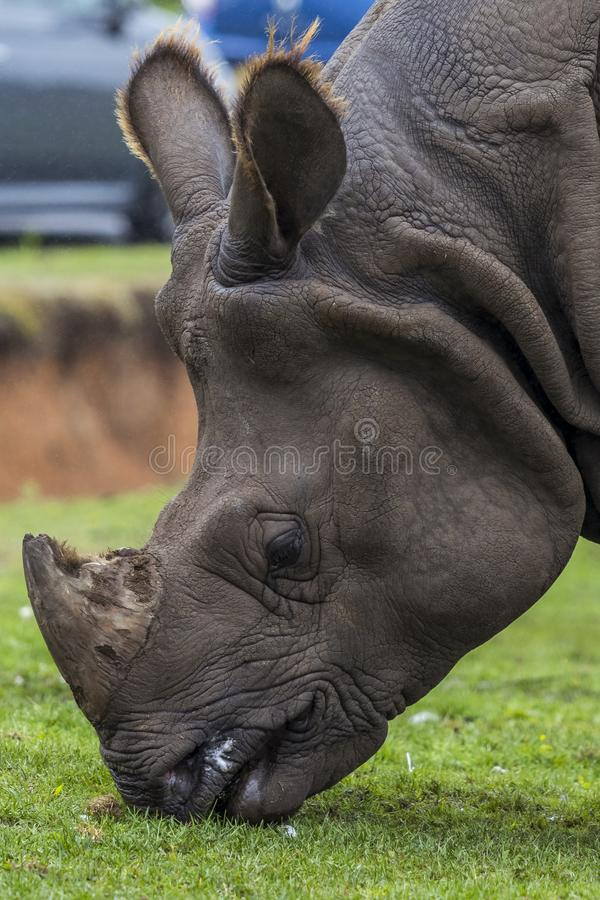 Rhinoceros Head close up at west midlands safari park zoo. Rhinoceros Head close up at west midlands safari park. Kidderminster. eating stock image