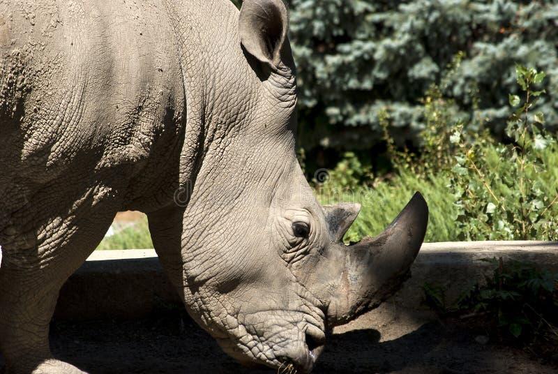Download Rhinoceros head closeup stock photo. Image of african - 26801558