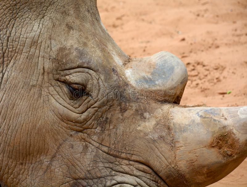 Rhinoceros Horn stock images