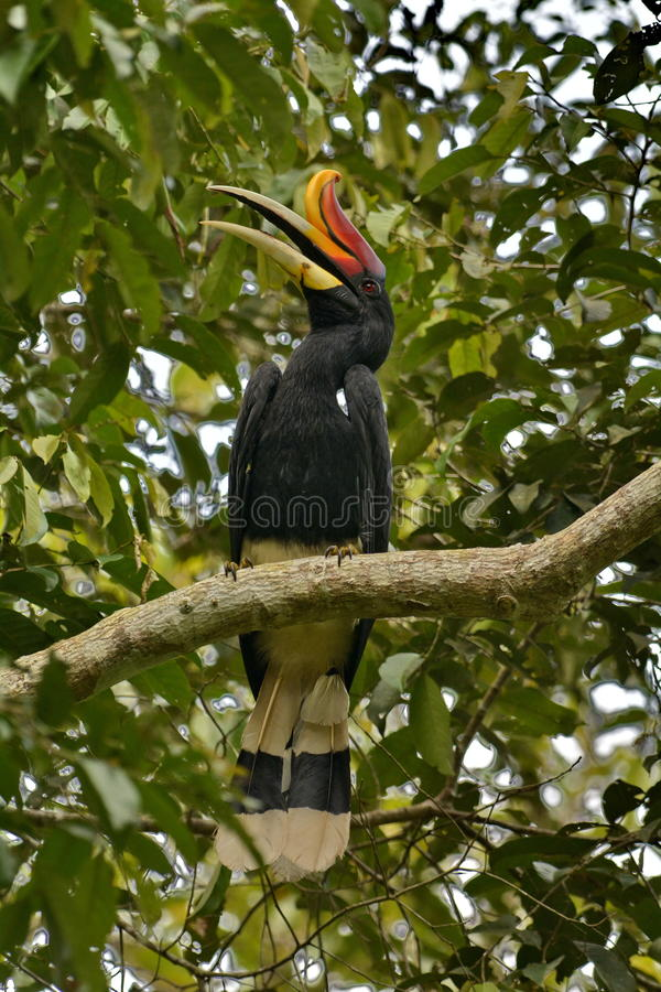 Rhinoceros Hornbill。. The Rhinoceros Hornbill (Buceros rhinoceros) is one of the largest hornbills, adults being approximately the size of a swan, 91–122 cm royalty free stock photos