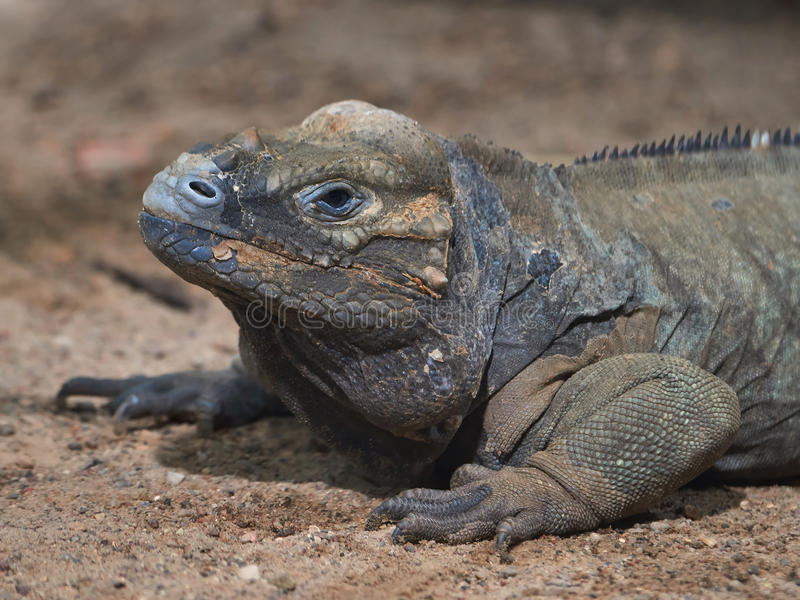 Download Rhinoceros Iguana Cyclura Cornuta Stock Image - Image: 83704901
