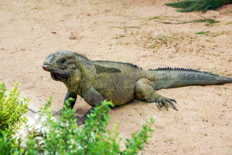 Rhinoceros iguana Cyclura cornuta. Also known as the Goliath dragon stock photos