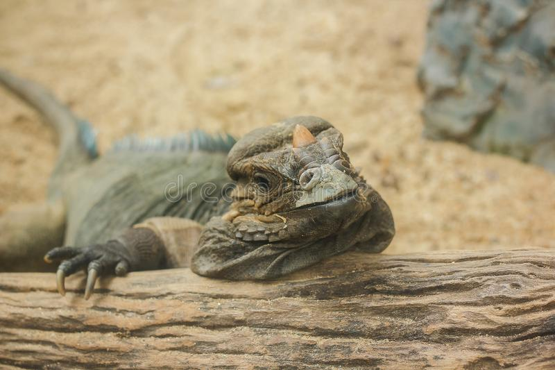 Rhinoceros Iguana is a rare wild animal. Which is featured on the large head that has a horn on the nose like a rhino horn royalty free stock photos