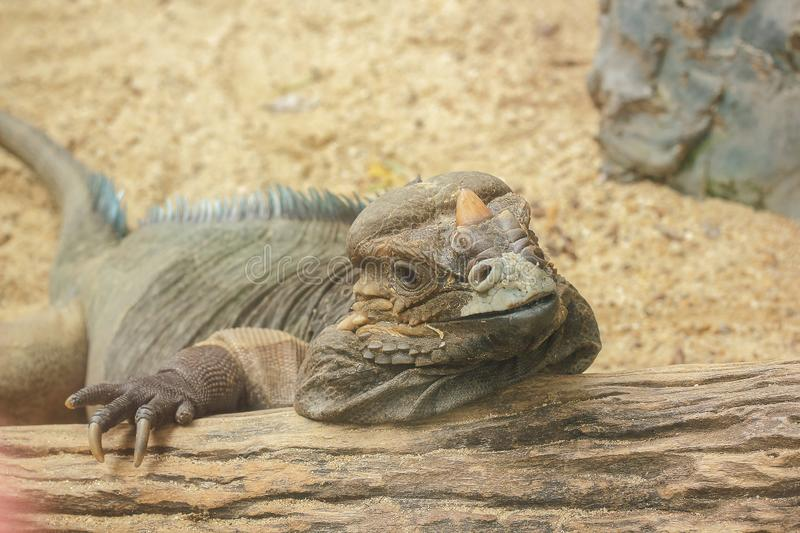 Rhinoceros Iguana is a rare wild animal. Which is featured on the large head that has a horn on the nose like a rhino horn royalty free stock image