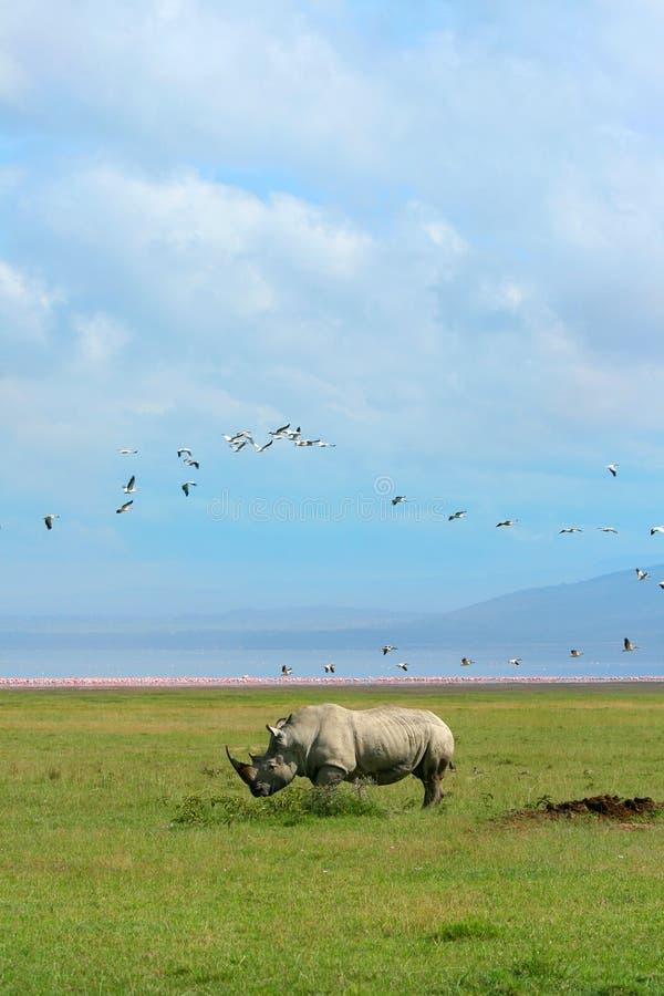 Free Rhinoceros In The Wild Stock Photo - 11521960