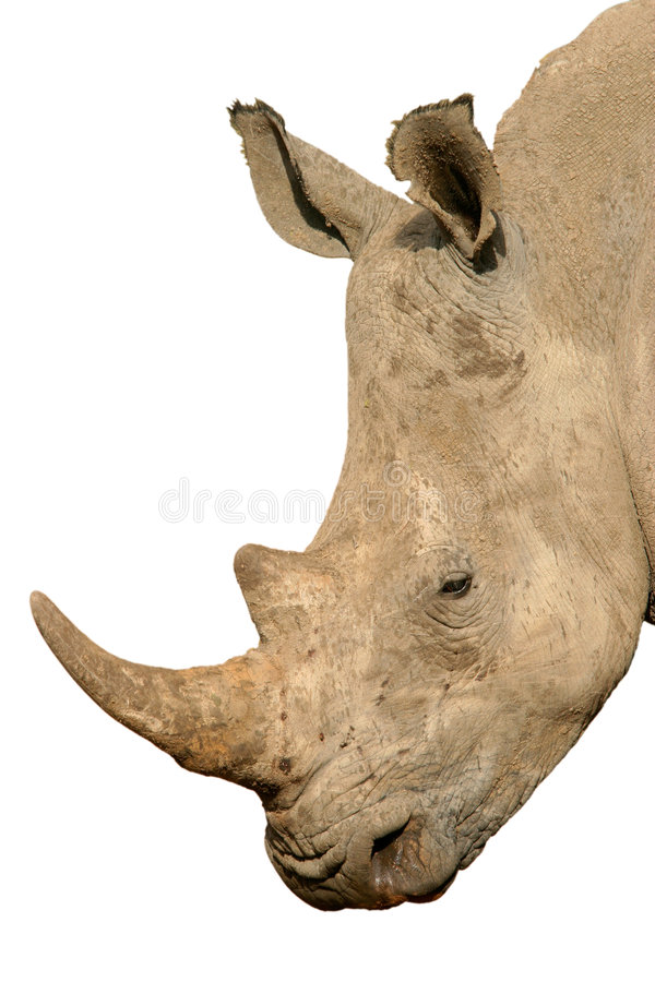 Download Rhinoceros isolated stock photo. Image of animal, rhino - 1149850