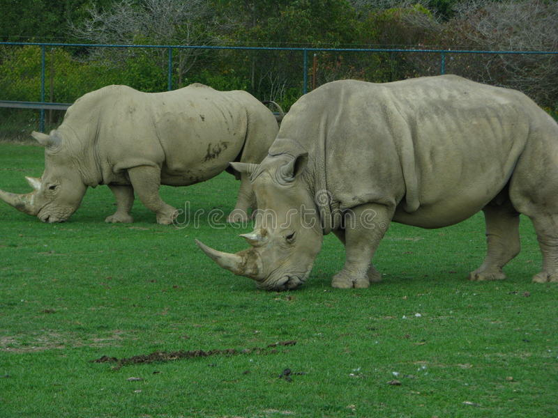 2 Rhinoceros looking like dinosaurs at the zoo. royalty free stock images