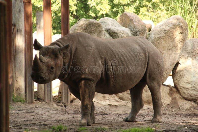 Rhinoceros in the Rotterdam Zoo. Rhinoceros in the Blijdorp Rotterdam Zoo stock photography